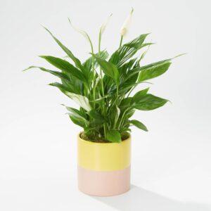 Sunny Peace Lily