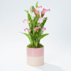 Pretty Pink Calla Lily