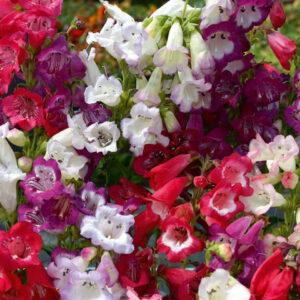 Penstemon cobaea 'Wedding Bells' Mixed (Garden Ready)